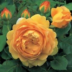 Duft Rosen im Garten: Golden Celebration