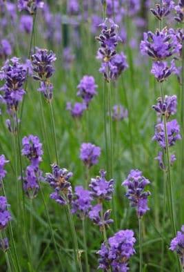 Lavendel überwintern - Lavendel in Blüte