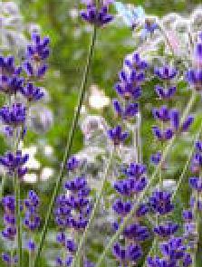 Lavendel überwintern Lavendel in voller Blütenpracht