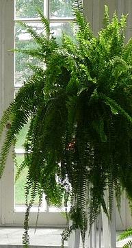 Pflanzen im Bad - Farn