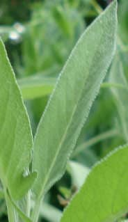 Salbei überwintern - Salbei Blatt