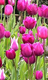 Sag es mit Blumen - Tulpen bedeuten Herzenskälte
