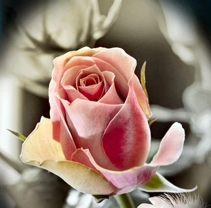 Sag es mit Blumen - zarte Rose