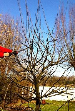 Baumschnitt Apfelbaum  alle Schosser  weg schneiden