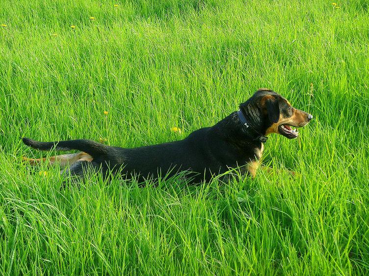 Hund auf Rasen tollend
