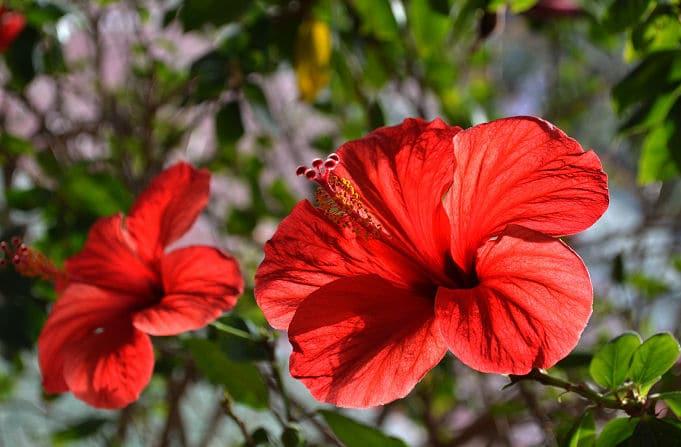 Pflegeleichte Zimmerpflanzen - Roter Hibiskus
