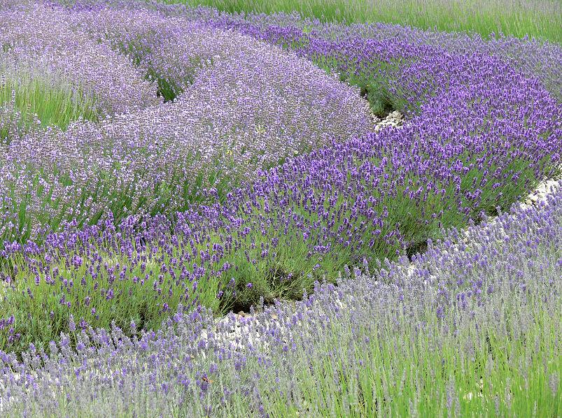 Üppige Lavendel-Wiese