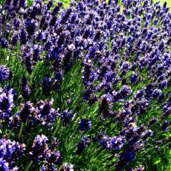 Dicht und kräftig wachsender Lavendel-Strauch