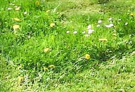 Blumen im Rasen