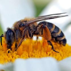 Fleißiges Bienchen bei der Arbeit