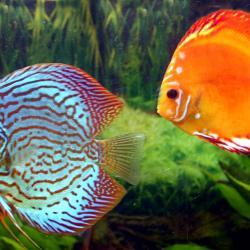 Fische fürs Aquarium - zwei Diskusfische