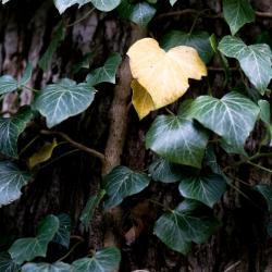 Überwinterung Pflanzen der Immergrüne Efeu