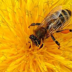 Eine Honigbiene im Pollenrausch