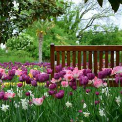 Wann pflanzt man Tulpen und andere Frühblüher