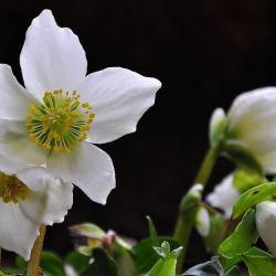 Die weiße Christrose