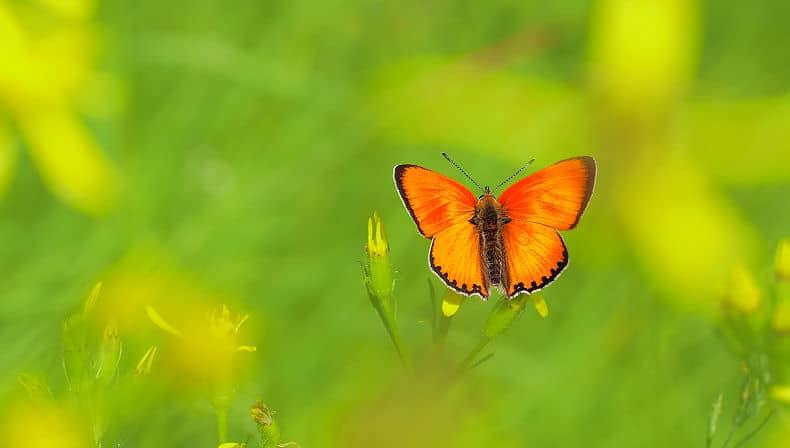 Einheimische Schmetterlinge: Dukatenfalter