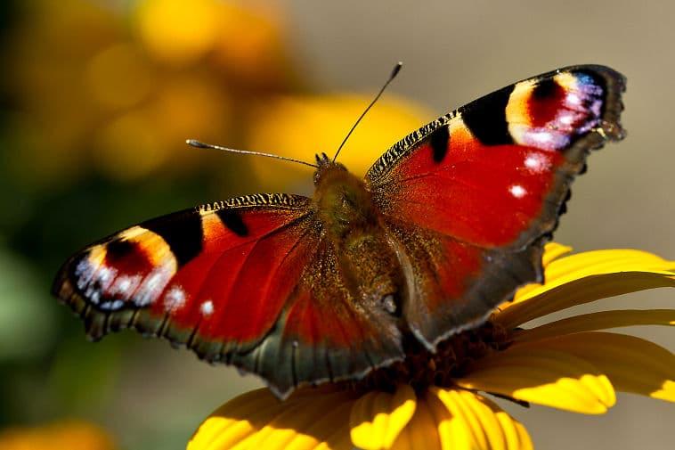 Einheimische Schmetterlinge: Das Tagpfauenauge