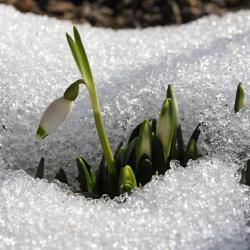 Schneeglöckchen Geschichten vom Frühling, der nun bald kommt