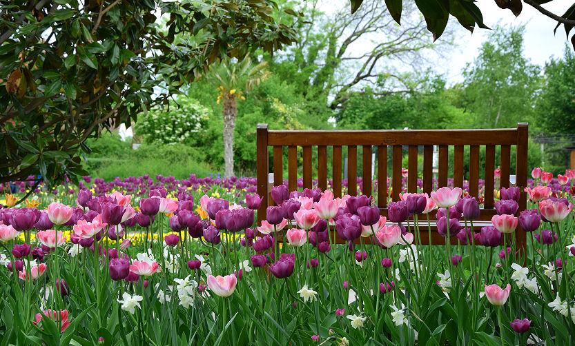 Die Tulpen Pflege bei solch einer Tulpen-Wiese ist denn doch recht aufwändig.
