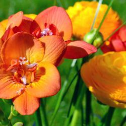 Blumen und Glückwünsche zum Muttertag mit einem Strauß Freesien
