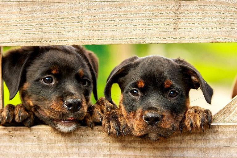 Rottweiler Welpen mögen viele Hundetraining Übungen sehr gern.