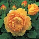 Schöne Rosen durch sorgfältige Pflege