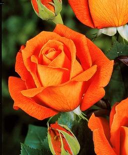 Schöne Rosen: aufgehende Rosenblüte im schönsten Stadium