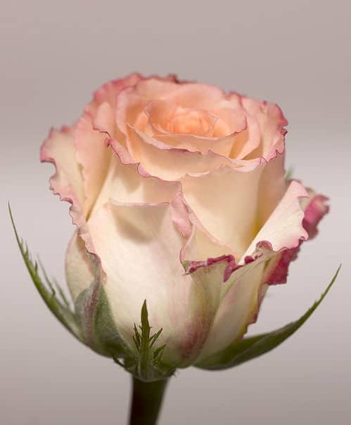 Schöne Rosen - zart rosa rot