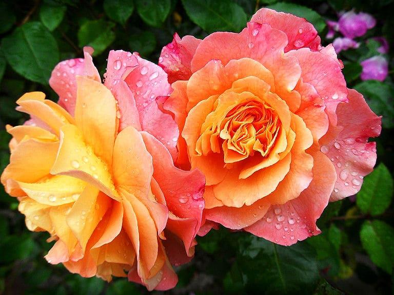 Ganz besonders schöne Rosen - zart rosa und gelb