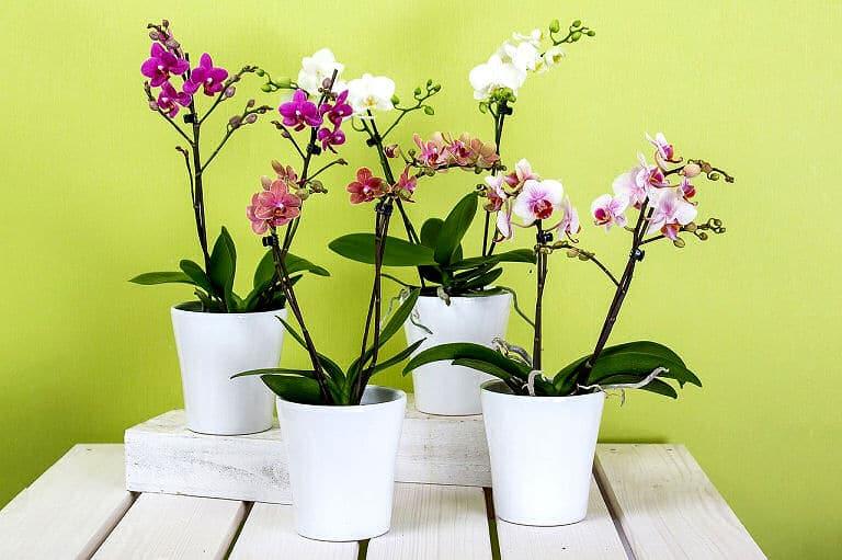 Glückshormone dank solcher Zimmerpflanzen wie Orchideen