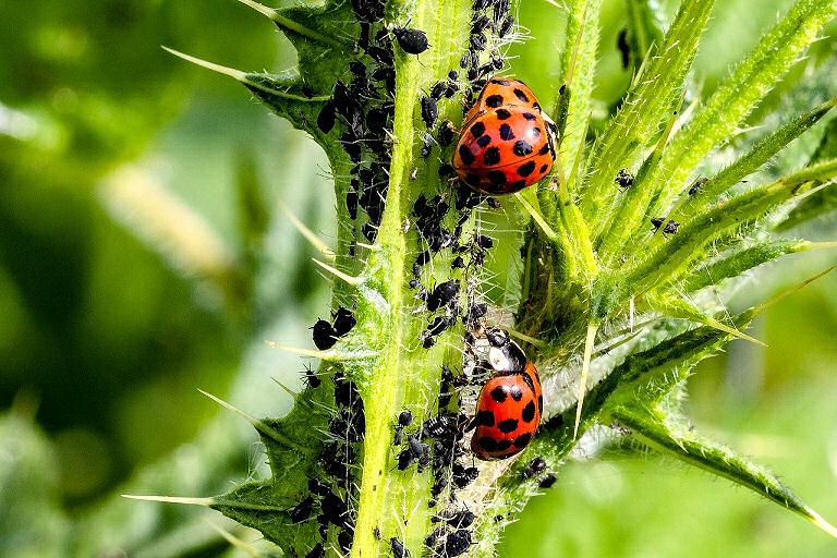 Ungeziefer im Garten: Marienkäfer fressen die lästigen Blattläuse