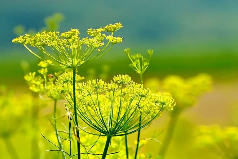 Gemüse selbst pflanzen - zum Beispiel Fenchel