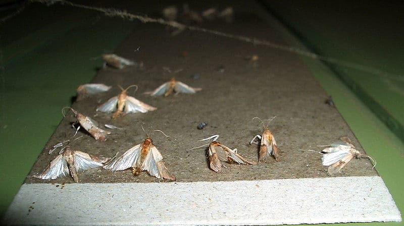 Motten vertreiben oder bekämpfen