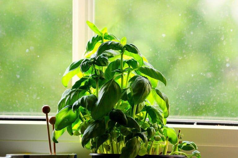 Basilikum anbauen - im Winter auf der Fensterbank