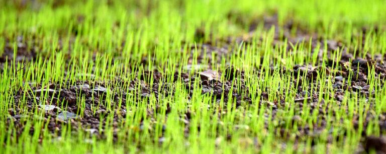 Ein schöner und gut gepflegter Rasen braucht viel Zeit zum Wachsen.