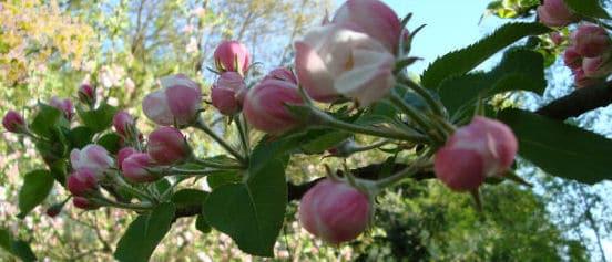 Obstbäume pflanzen - Apfelblüte