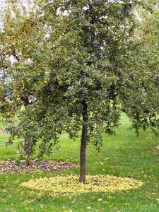 Obstbäume pflanzen - Obstbäume schneiden