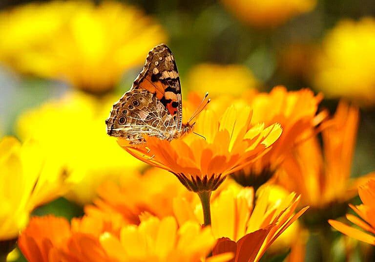 Attraktive und doch pflegeleichte Blumen - dazu gehören für viele vor allem die Ringenblumen