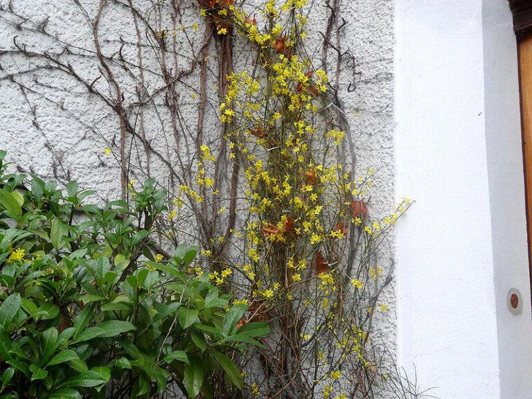 Pflanzen im Winter, die blühen: Winterjasmin an einer Hauswand
