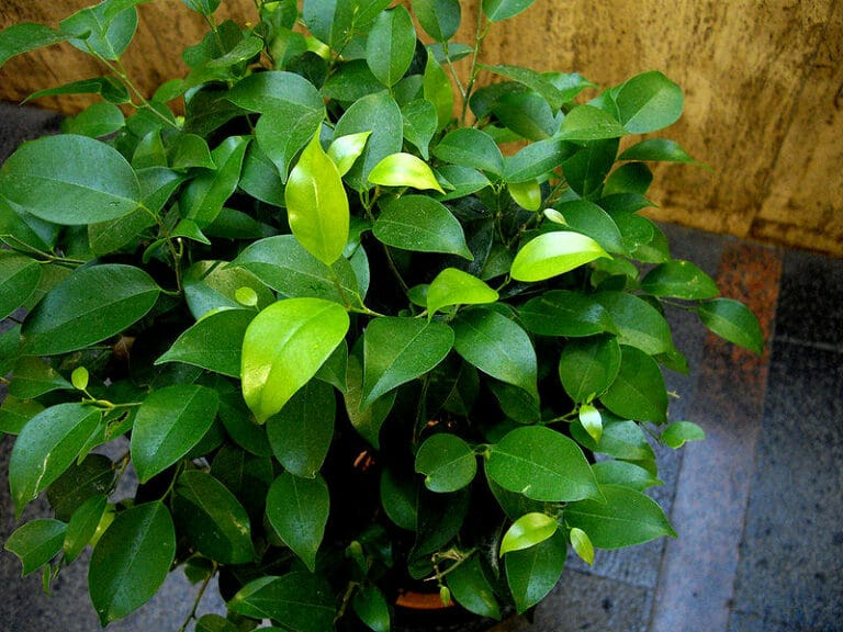 Ein Ficus Benjamina zu Hause im Topf