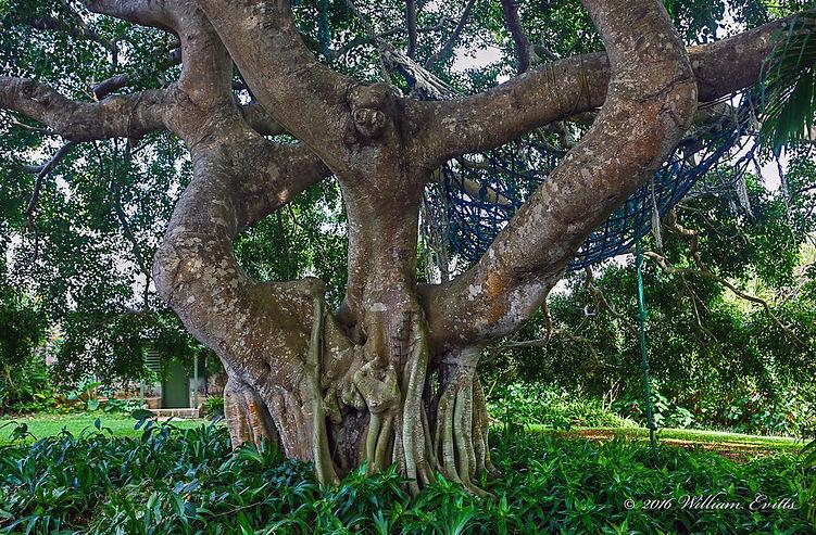 Eine Benjamin Pflanze in Natura