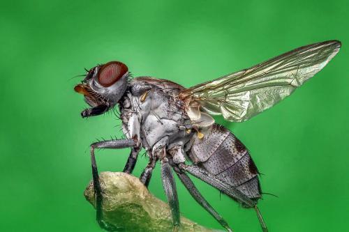 Stubenfliegen sind wie die meisten Insekten, eigentlich nur in der Masse lästig. Denn so eine Fliege allein kann durchaus auch mal ein Haustier sein.