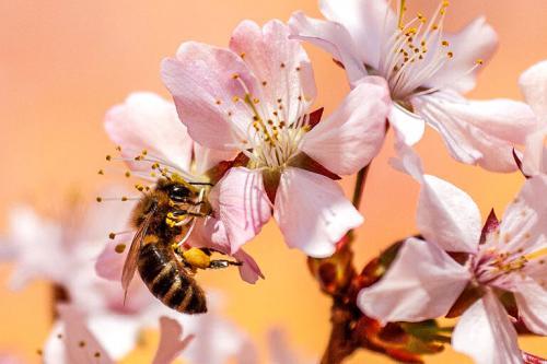 Ein anaphylaktischer Schock durch Bienengift droht nur wenigen Menschen, aber jeder ist prinzipiell vermeidbar.