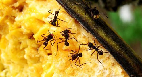 Schädlinge im Haus - Ameisen
