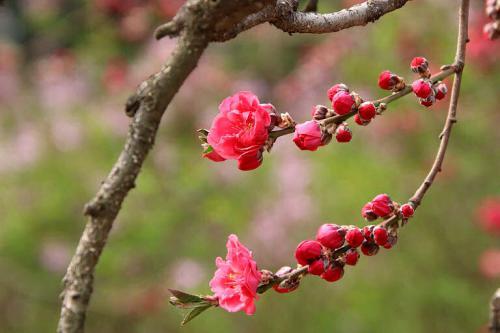 Obst im Garten anbauen - in günstigen Lagen auch einen Pfirsichbaum.