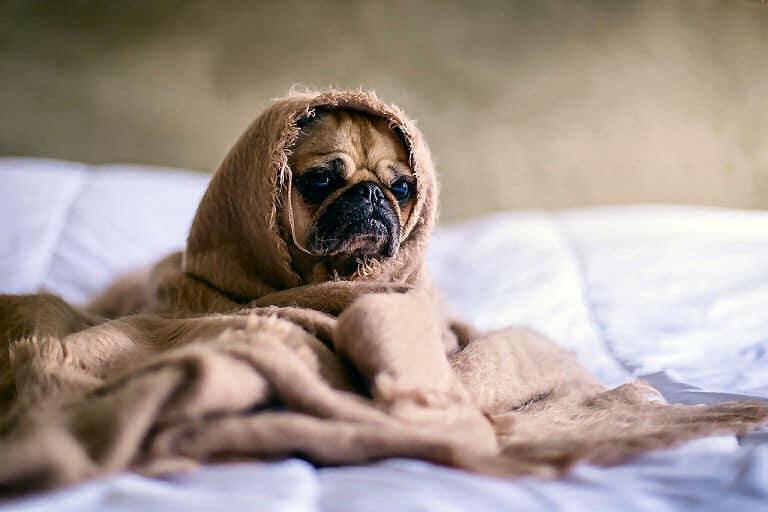 In solch einer Kuscheldecke fühlt sich ein kleiner Hund richtig wohl. Dieser Vierbeiner schaut zwar nicht fröhlich, es ist ja ein Mops.
