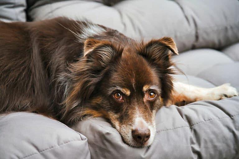 Tiere in der Wohnung: Klar, ein Hund liegt gern auf dem Sofa - ganz in der Nähe von Herrchen oder Frauchen.