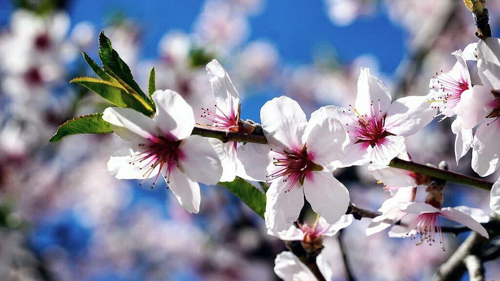 Ein Mandelbaum ist besonders gut geeignet, wenn man Bäume im Topf halten will.