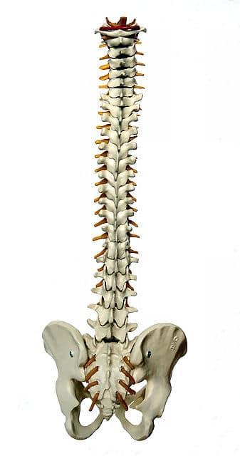 Chiropraktiker sind Spezialisten für Rückenschmerzen und damit vor allem für die Wirbelsäule.